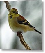 Molting In January? - American Goldfinch Metal Print