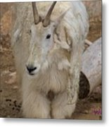 Molting Mountain Goat Metal Print