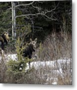 Mom And Calf  In The Forest Metal Print
