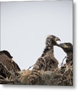 Mom And Little Eaglets Metal Print