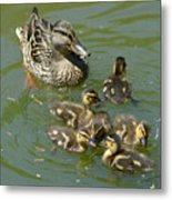 Momma Duck With Babies Metal Print