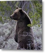 Momma Grizzly And Cubs Metal Print