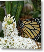 Monarch And The Butterfly Bush  Metal Print