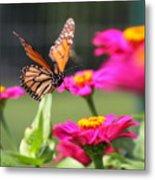 Monarch Approaching Zinnia 2 Metal Print
