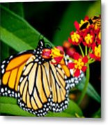 Monarch Butterfly At Lunch With 2 Box Elder Bugs Metal Print