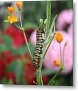 Monarch Butterfly Caterpillar Metal Print