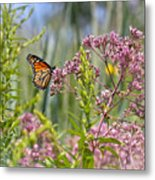 Monarch Butterfly In Joe Pye Weed Metal Print