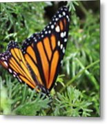Monarch Butterfly In Lush Leaves Metal Print