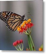 Monarch Butterfly On Milkweed Metal Print