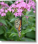 Monarch Butterfly On Pink Flowers  Metal Print