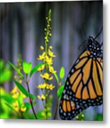 Monarch Butterfly Poised On Green Stem Among Yellow Flowers Metal Print
