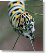 Monarch Caterpillar Clutches Dill In Pincers, Macro Metal Print