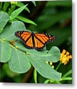 Monarch Butterfly Resting On Cassia Tree Leaf Metal Print