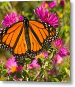 Monarch Feeding Metal Print