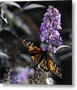 Monarch In Backlighting Metal Print by Rob Travis