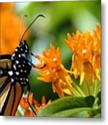 Monarch On Asclepias Metal Print