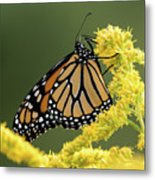 Monarch On Goldenrod Metal Print
