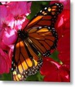 Monarch On Summer Geraniums Metal Print