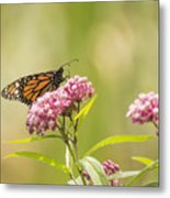 Monarch On Swamp Milkweed 2014-1 Metal Print