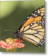 Monarch On Zinnia 4-2015 Metal Print
