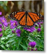 Monarch Spreading Its Wings Metal Print