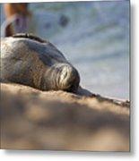 Monk Seal Basking. Metal Print