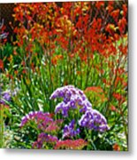 Yellow-orange Kangaroo Paws And Sea Lavender By Napier At Pilgrim Place In Claremont-california Metal Print