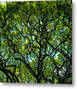 Monkeypod Canopy Metal Print by Peter French - Printscapes