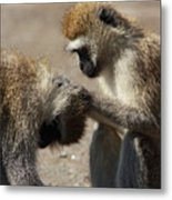 Monkeys Grooming Metal Print