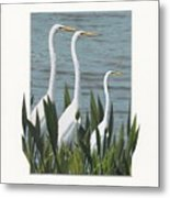Montage With 3 Great White Egrets Metal Print