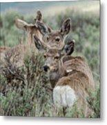 Montana Mule Deer On A Spring Night Metal Print