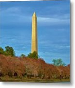 Monument Blossoms, Japanese Cherry Blossom Trees With The Washington Monument In The Background Metal Print
