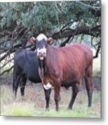 Moo Cow Metal Print
