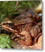 Moor Frog In September  Metal Print