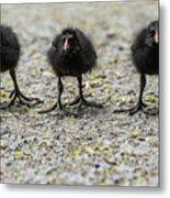 Moorhen Chicks Metal Print