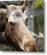 Moose - White Mountains New Hampshire Usa Metal Print