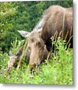 moose and Calf-1 Metal Print