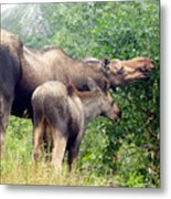 Moose And Calf Forage Metal Print