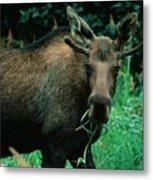 Moose At Lunch Metal Print