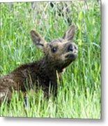 Moose Baby Metal Print
