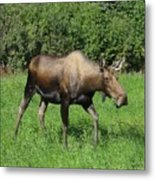 Moose Cow Grazing Metal Print