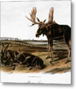Moose Deer (cervus Alces) Metal Print by Granger
