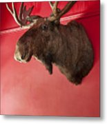 Moose Head Mounted On A Wall. Metal Print
