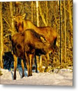 Moose In The Morning Metal Print