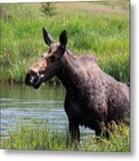 Moose In The Pond - 2 Metal Print