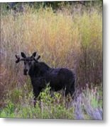 Moose In Velvet Metal Print