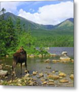 Moose Looking Back Sandy Stream Pond Metal Print