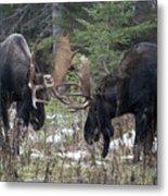 Moose. Males Fighting During The Rut Metal Print