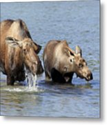 Moose Mama With Her Calf Metal Print
