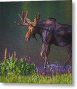 Moose On The Loose Metal Print